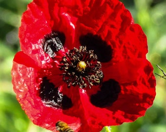 Papaver Rhoeas 250 seeds, Red Poppy flower from Ireland 2017