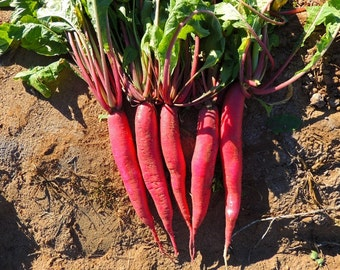 Radish Red Arrow (400=>25,000 seeds) Sprouting or Vegetable microgreens #288