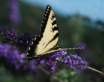 Eastern Tiger Swallowtail Butterfly - 4x6 Fine Art Photograph
