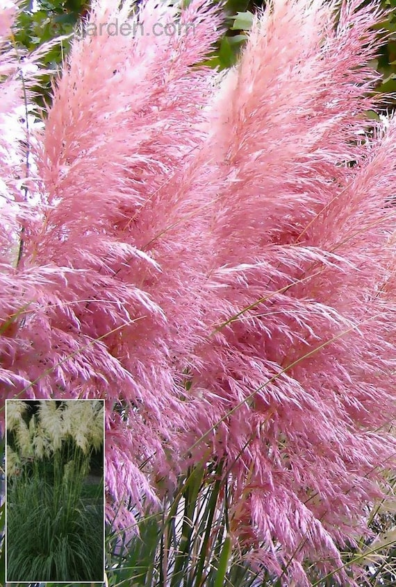 Ornamental Grasses Zone 7 Pink pampas grase seeds aka pink feather pink plume cortaderia pink pampas grase seeds aka pink feather pink plume cortaderia selloana rosa fast growing ornamental grass seeds perennial zones 7 10 from workwithnaturefo