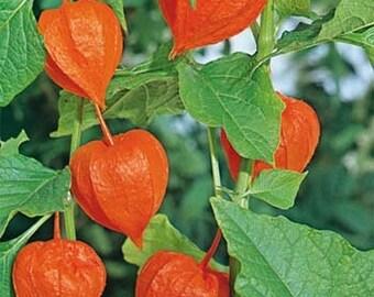 Chinese Lantern Flower Seeds/Physalis Alkekengi/Perennial   45+