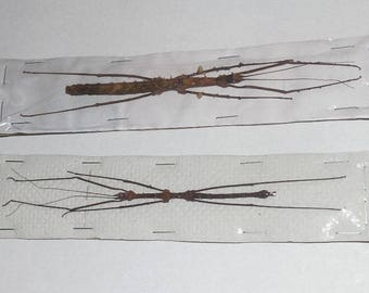 One Pair STHENEBOEA REPUDIOSA Real Stick Insects