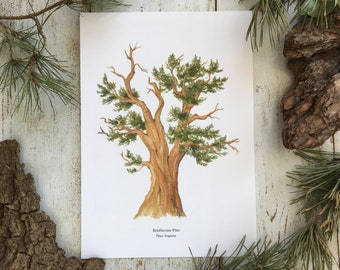 Bristlecone Pine - Print A4