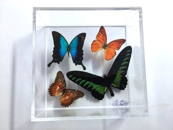 BROOKIANA!  -  Real butterflies in acrylic box display