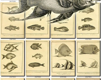 FISHES-48-bw Collection of 147 vintage images Bass Sturgeon Sunfish Perch pictures High resolution digital download printable water animals