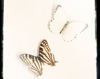 Photograph Butterflies, Nature Print, Nursery Wall, Butterfly Art - Insect Photography,  creme white, soft gray, dark brown, caramel tones