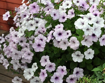 TIDAL WAVE SILVER Petunia Seeds - Trailing/Spreading Petunia, Mass of Blooms!  High Quality & Fresh (10 seeds)