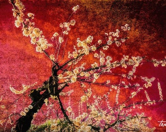 Apricot Blossoms, Red Zen Dreamy, Modern Retro, Texture, Spring Orchard, Fine Art Photo, SynVisPhotos, Steve Traudt, Palisade Colorado