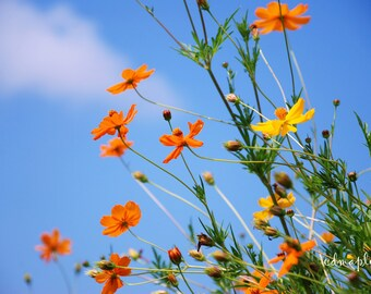 Summer flowers photograph, Coreopsis Flowers, Tickweed Print, Flower Photo, Orange and Yellow Flowers Print