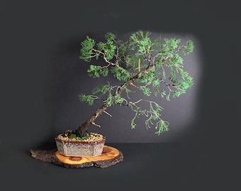 "Juniper torulosa bonsai tree, Conifer bonsai collection"" from LiveBonsaiTree"