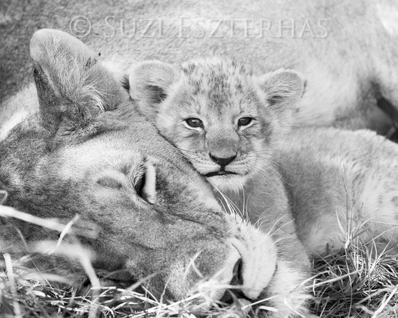 cute baby animals lion mom and baby photo black and white