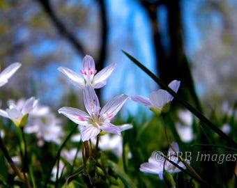 Spring Beauty- Wildflower - Fine Art Photograph - Home Decor