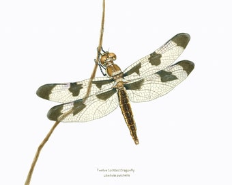 Dragonfly/ INSECT ILLUSTRATION/Archival Giclee Print/Nature Conservation Art/Skimmer, Blacks-Browns