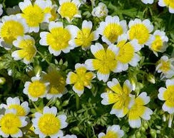 Poached Egg Plant- Limnanthes Douglasii- 50 Seeds