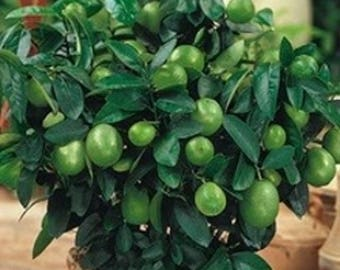 5 seeds of Kaffir lime - Kaffir lime-Citrus hystrix