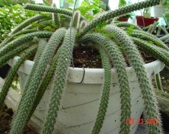 """6""""pot-Rat Tail Cactus Plant"""