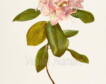 Carolina Azalea Flower Art Print, Botanical Art Print, Flower Wall Art, Flower Print, Floral Print, Pink Flower