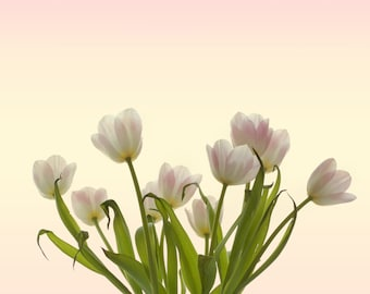 White tulips fine art digital download (pink, green, white)