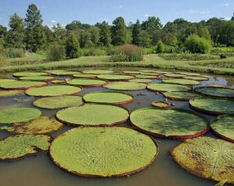 Lillypads at Kennilworth Aquatic Gardens