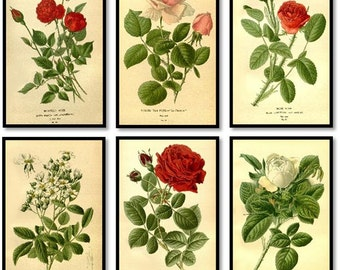 Red, Pink, White Rose Plants Antique Botanical Roses Illustration Plates Set of 6 Art Prints