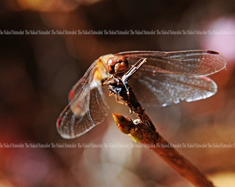 Red Dragonfly, Nature Photography, Macro, Insect, Red, Autumn, Bokeh, Fine Art