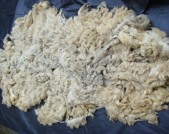 SHETLAND FLEECE / Raw Unwashed / Light Grey / British Wool / Conservation Breed / Rare Breed / 0.9  kg / 32 oz / Spinning Knitting Felting