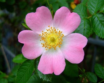 25 Rosa canina Seeds, Dog Rose Seeds Pink