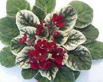 African Violet ~ Pow Wow