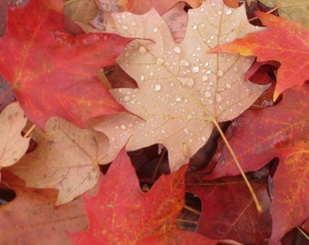 Crimson Leaves nature photography digital download Fallen Leaves with raindrops fall leaves digital photo download