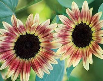 ASU)~STRAWBERRY BLONDE Sunflower~Seed!~~~Lovely Tricolor!