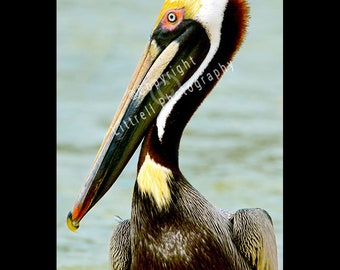 Brown Pelican with Mating Plumage Print from an original photograph taken at Venice Beach