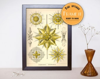 "Vintage illustration by Ernst Haeckel  - framed fine art print, sea creatures,sea life, 8""x10"" ; 11""x14"", FREE SHIPPING - 263"