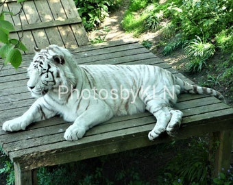 White Tiger Lounging Animal Zoo Picture Photo Photograph or Greeting Card
