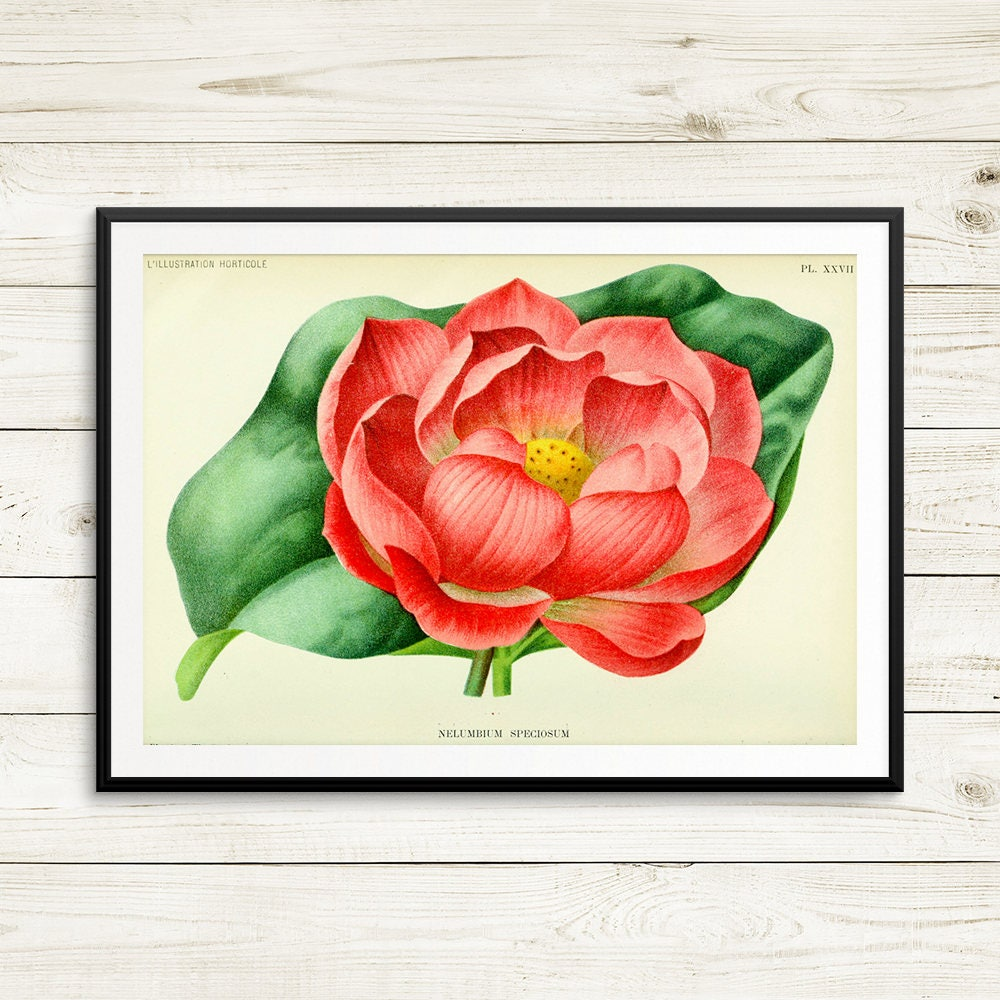 Indian lotus vintage art print lotus botanical prints zoom izmirmasajfo Gallery