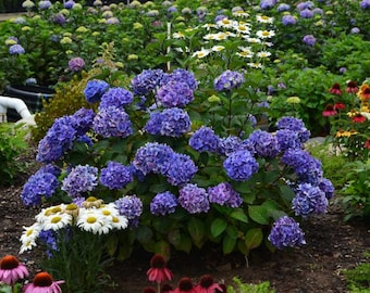 BloomStruck® Endless Summer Hydrangea 3 Gallon