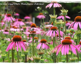 Echinacea angustifolia 'Narrow-leaved Purple Coneflower' [WILD FORM] 50+ SEEDS
