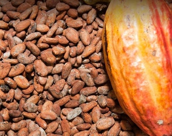 Raw Cocoa Beans Cacao Beans Dominica