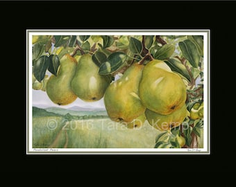 Pendulant Pears - Archival botanical signed print in a 11x14 mat, from original painting by Tara Kemp
