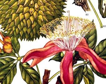 Durian Fruit Silk Cotton Tree Flower South East Asia Botanical Exotica Vintage Illustration To Frame 115