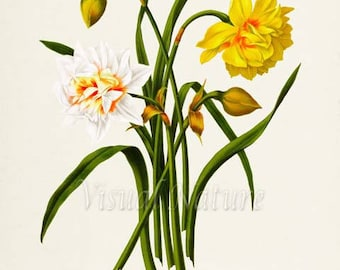 Narcissus Hybrids Daffodil Flower Art Print, Botanical Art Print, Flower Wall Art, Flower Print, Floral Print, Home Decor, yellow, white
