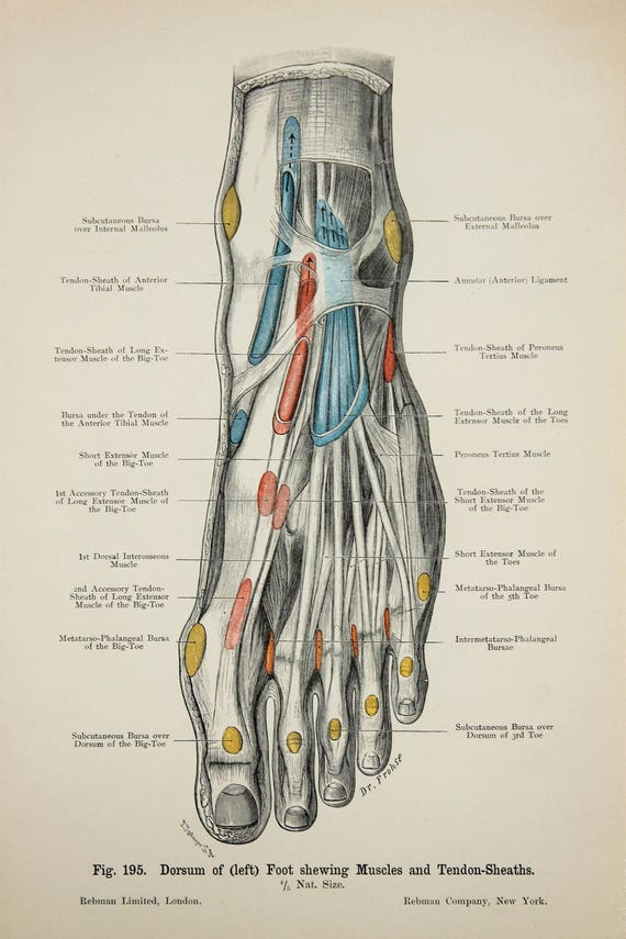 Feet Ankles Tendons Arteries Veins Nerves c.1900 DOUBLE