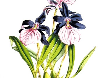 Flower Print - Orchids - Miltonia spectabilis - variety mereliana - 1979 Vintage Book Page - Large Print For Framing - 15 x 12