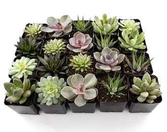 "2"" Succulent Mixed Varieties Flat of 8"