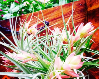 Leonamiana Stricta AirPlant  - Peach Bloom ~ 4 - 6 inches ~ No soil needed ~ BLOOMING NOW ~ Plant Only