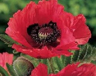 25+ Raspberry Brulee Poppy Papaver Orientale / Perennial Flower Seeds