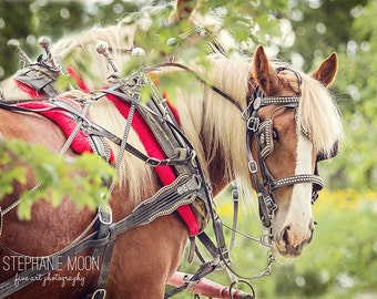 Horse Picture of a draft horse in harness, Horse photography, Equine art, Fine art equine photography