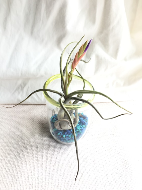 Hand blown glass and bromeliad airplant
