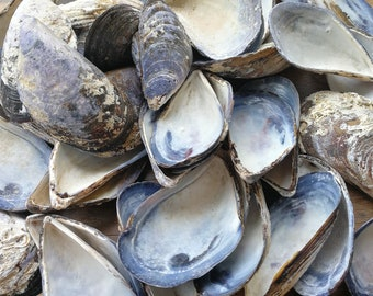 45 Pcs 7-7,5 cm  Large, Blue,  Mussel Shells From Black Sea, blue mussel shells for your crafts, decors, wreaths, jewelleries, MK-005