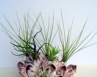 Air Plant Barnacle Planter