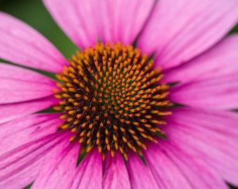 Flower Art, Pink Cone Flower, Fine Art Color Canvas, Nature Photography